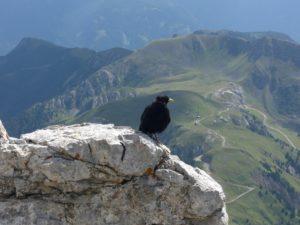 Alpendohle bei der Pisa Hütte 2671 m